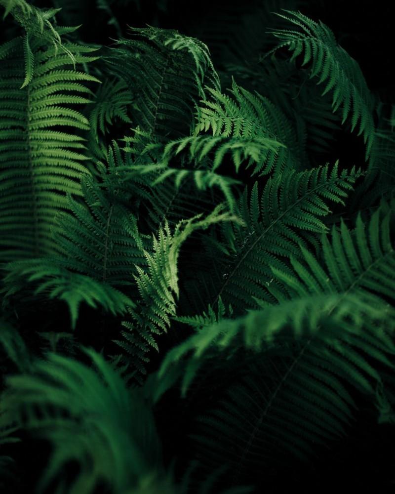 Ferns in the dark