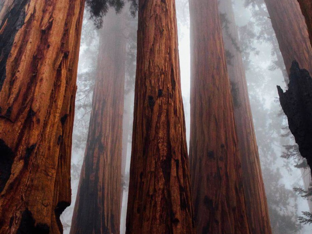 Huge trees reaching into the fog